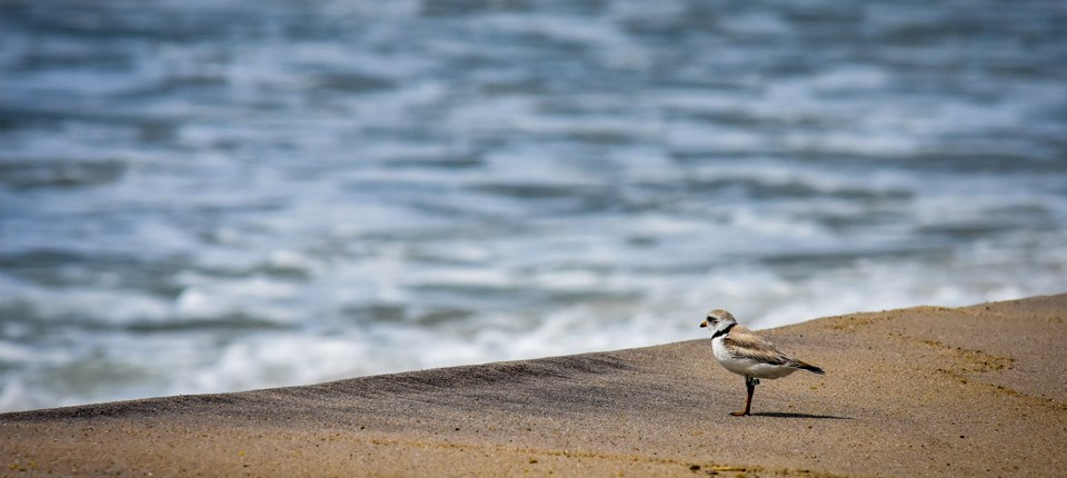 A small stocky shorebird, the Piping Plover, stands on the beach by the water