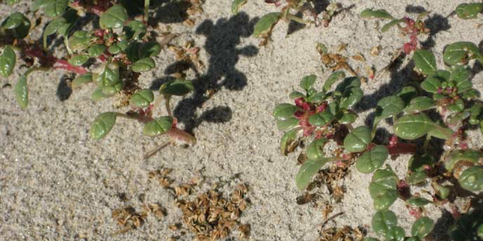 Seabeach-Amaranth-a-Threatened-Beach-Plant