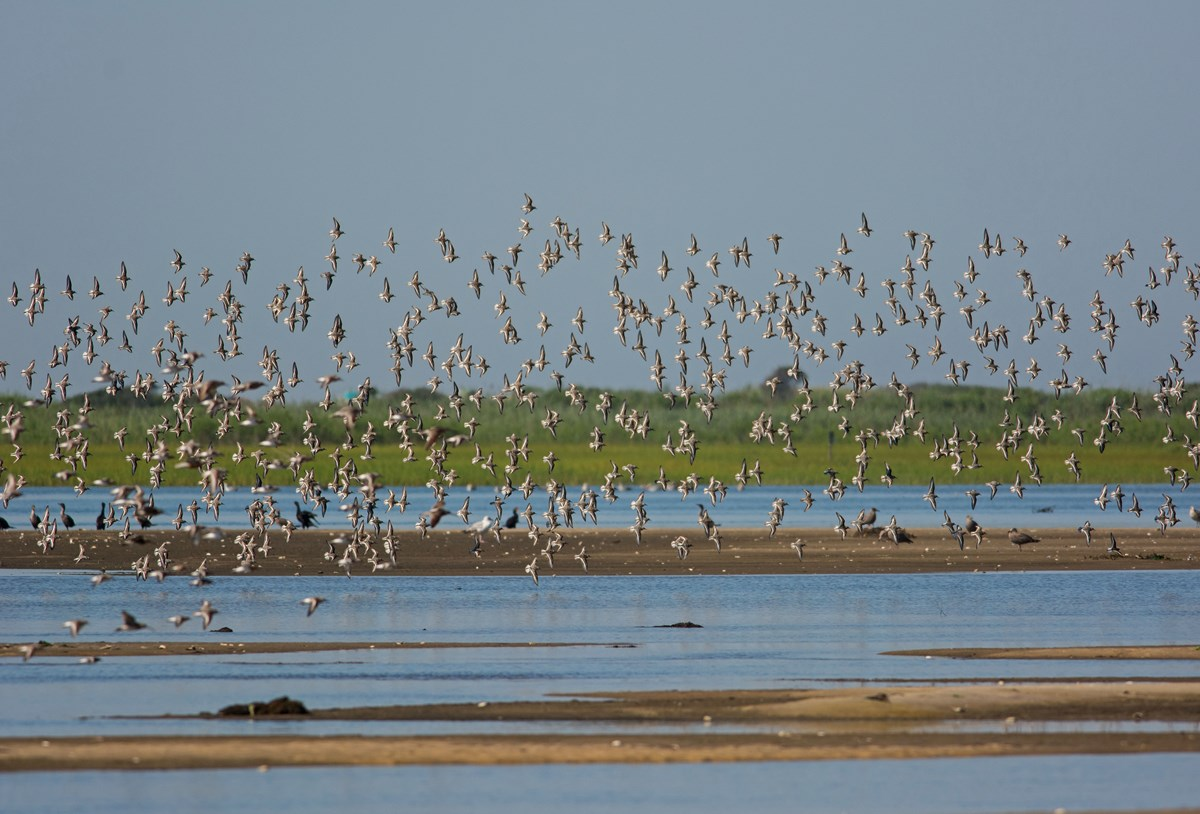 Shorebirds fly gracefully over the water