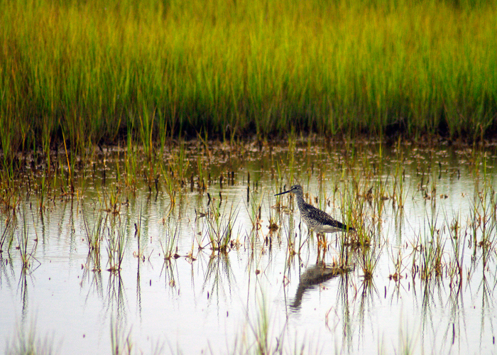 A Greater Yellowlegs forages in the salt marsh near Watch Hill