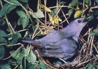 Slate-grey catbird, surrounded by thick leaves, sits on nest with bright blue eggs.
