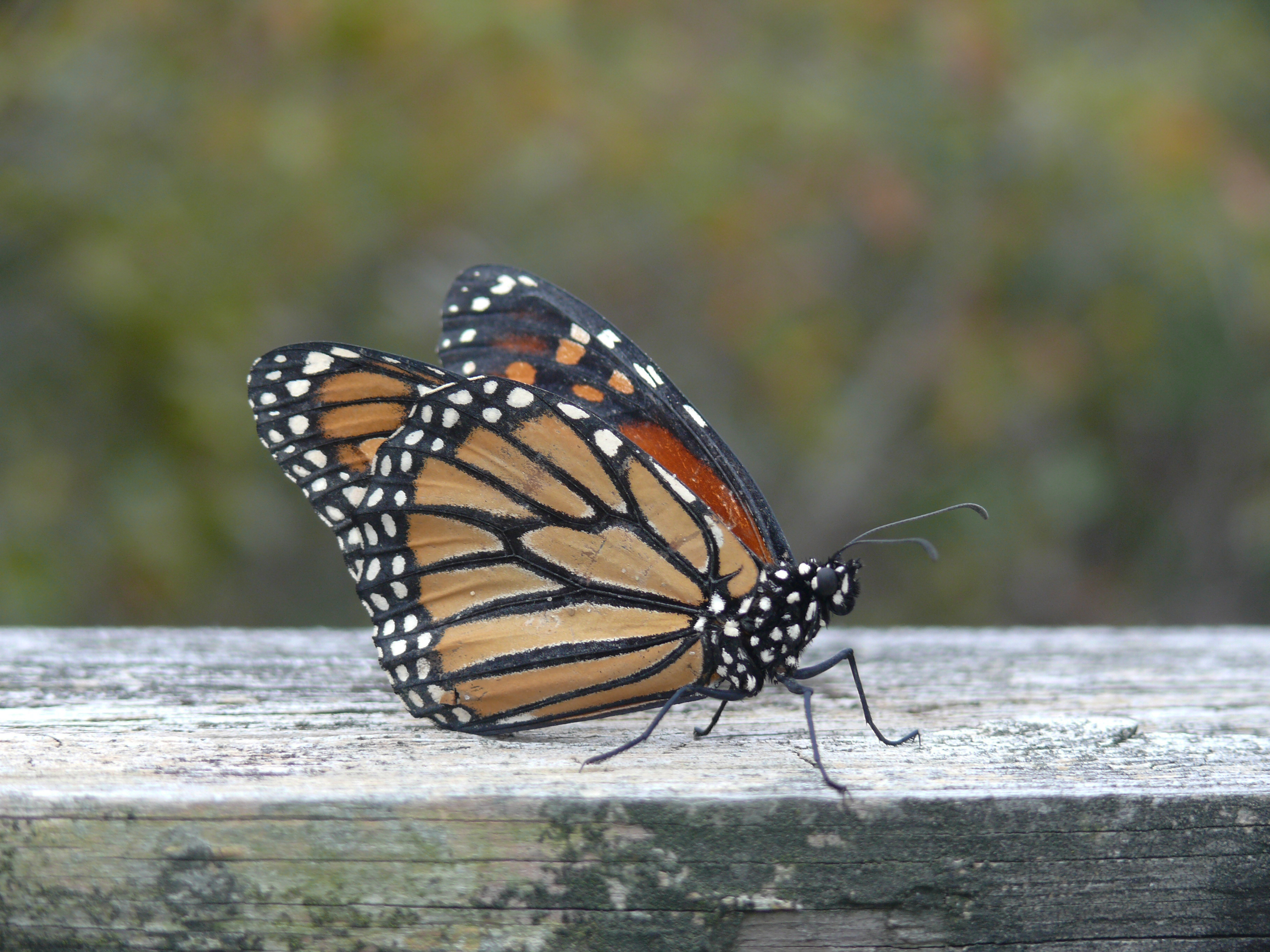 A monarch rests outside a visitor center.