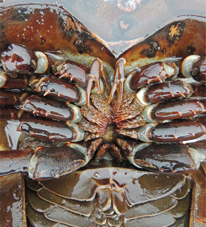horseshoe crab reveals the creature s mouth  appendages  and gillsHorseshoe Crab Gills
