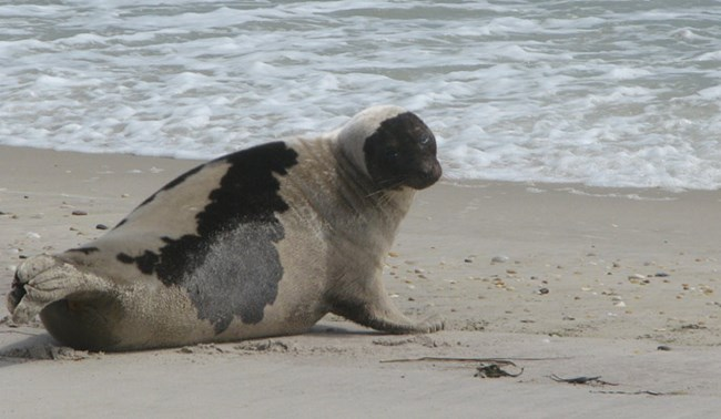 A seal rests on a Fire Island beach
