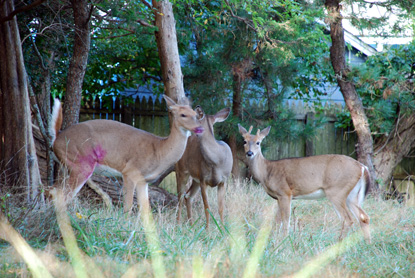 Three deer among trees, with pink dye from dart on rump of one doe.