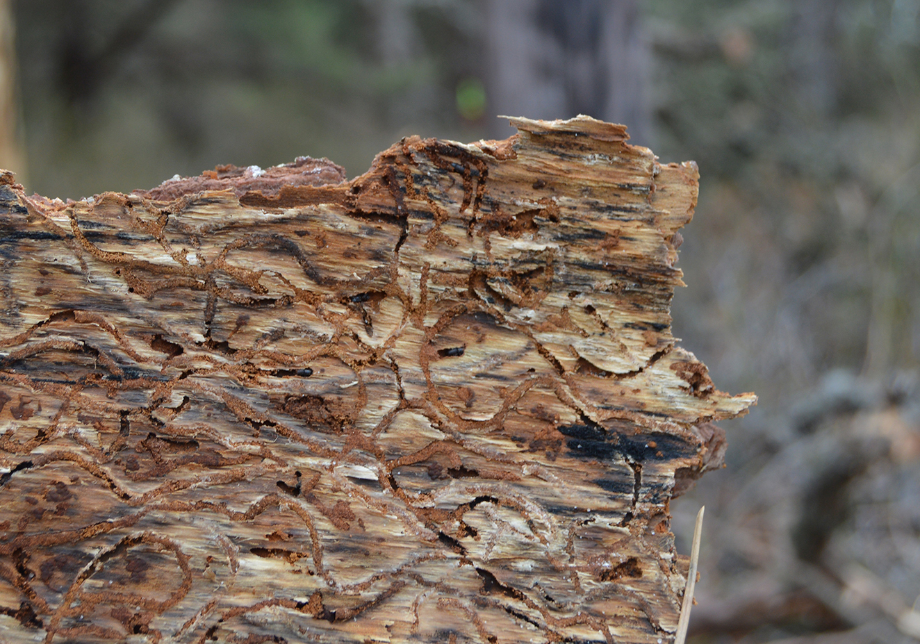 S-shaped southern pine beetle galleries in pine bark.