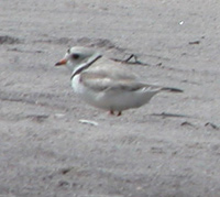 Piping plover blends in with white sandy beach.