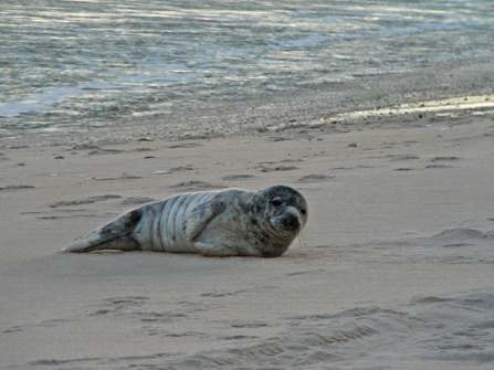 A grey seal pup rests on the beach