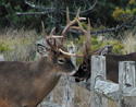 Two bucks with antlers locked, split-rail fence between them.