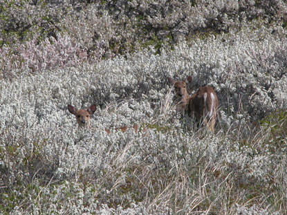 Two deer, which appear to interrupt their grazing, are seen among thick shrubs of beach plum covered with white blossoms.