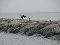 Gulls and cormorants rest on rock jetties.