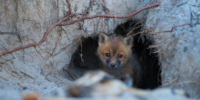 A fox kit peers out of its den