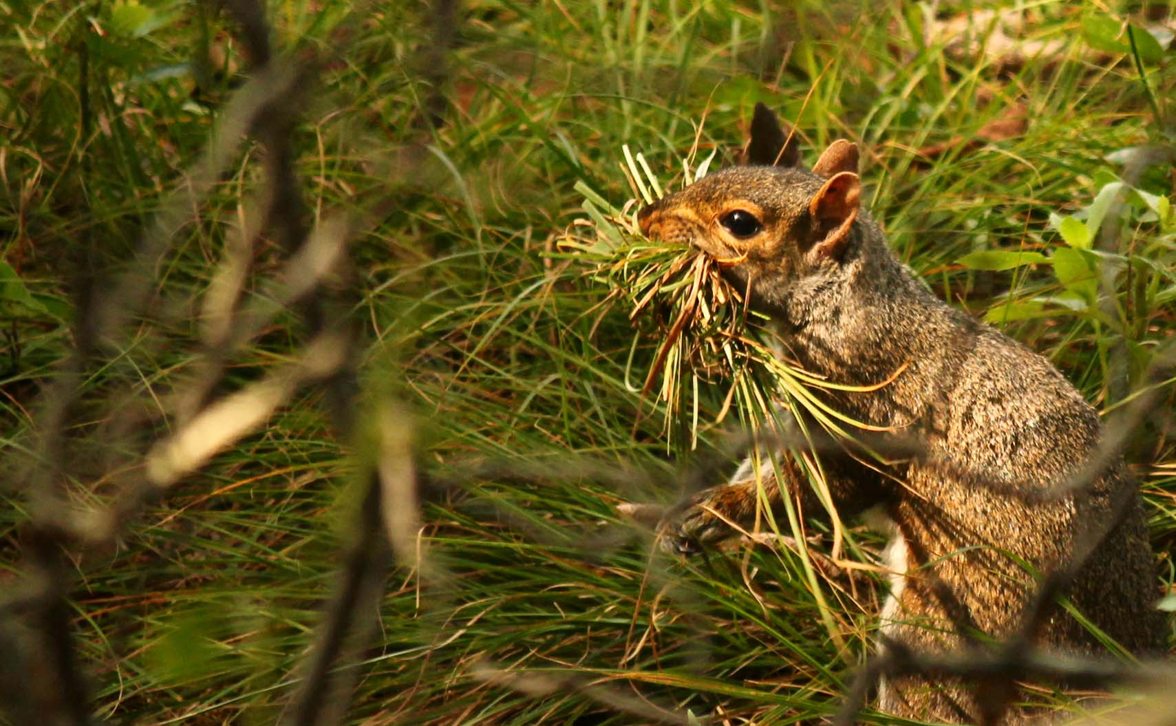 Squirrel with mouthful of grass
