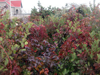 A sign of autumn: red-tinged leaflets of poison ivy are intertwined with green shrubs in front of the red-roofed lighthouse keepers quarters.