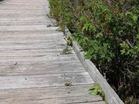 Tiny leaflets of poison ivy sprout up over boardwalk.