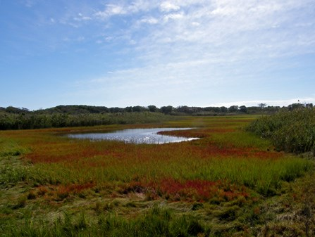 Salicornia turns portions of the salt marsh a brilliant red each autumn.