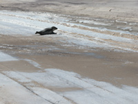 Seal On Winter Beach
