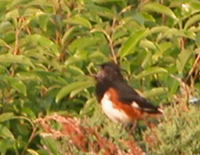A singing towhee sits on top of shrubs.