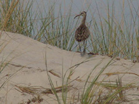 Long-legged shorebird walks over dune through beach grass.