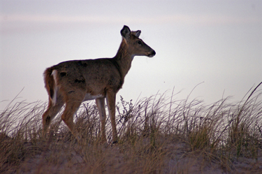 White-tailed deer in Otis Pike Fire Island High Dune Wilderness.
