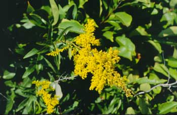 Yellow goldenrod flowers.