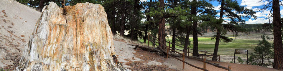 Massive petrified redwood stumps