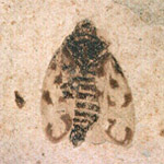 insect fossil showing wing patterns