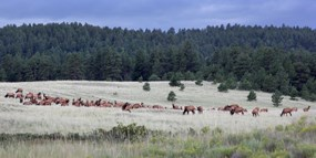 Elk - Florissant Fossil Beds National Monument (U S
