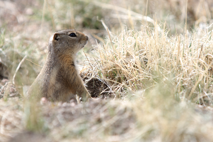 richardsons_ground_squirrel_a