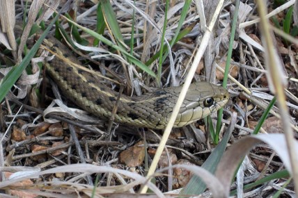 A Garter Snake at the Barksdale Picnic Area.