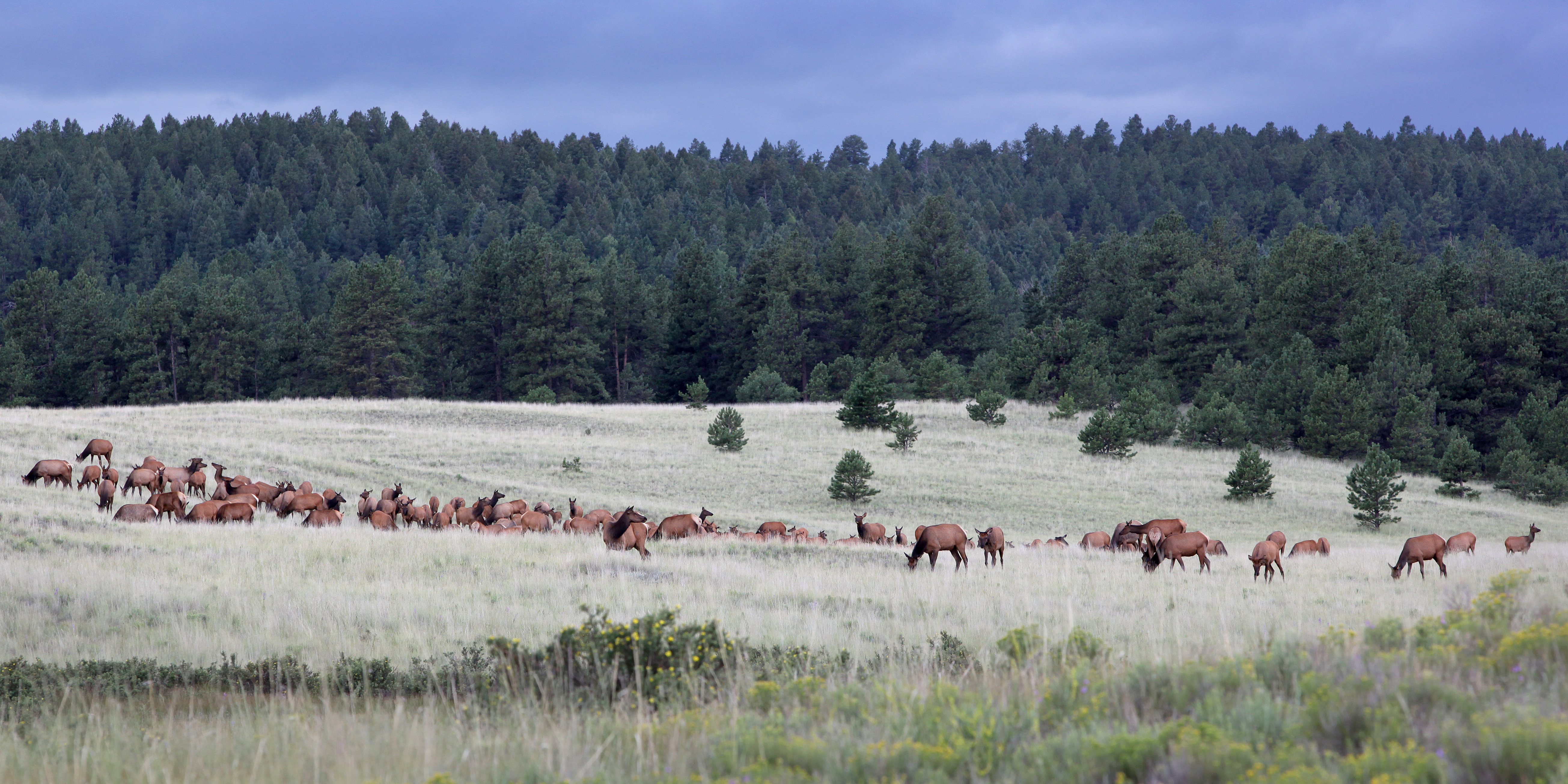 Elk herd at Florissant Fossil Beds