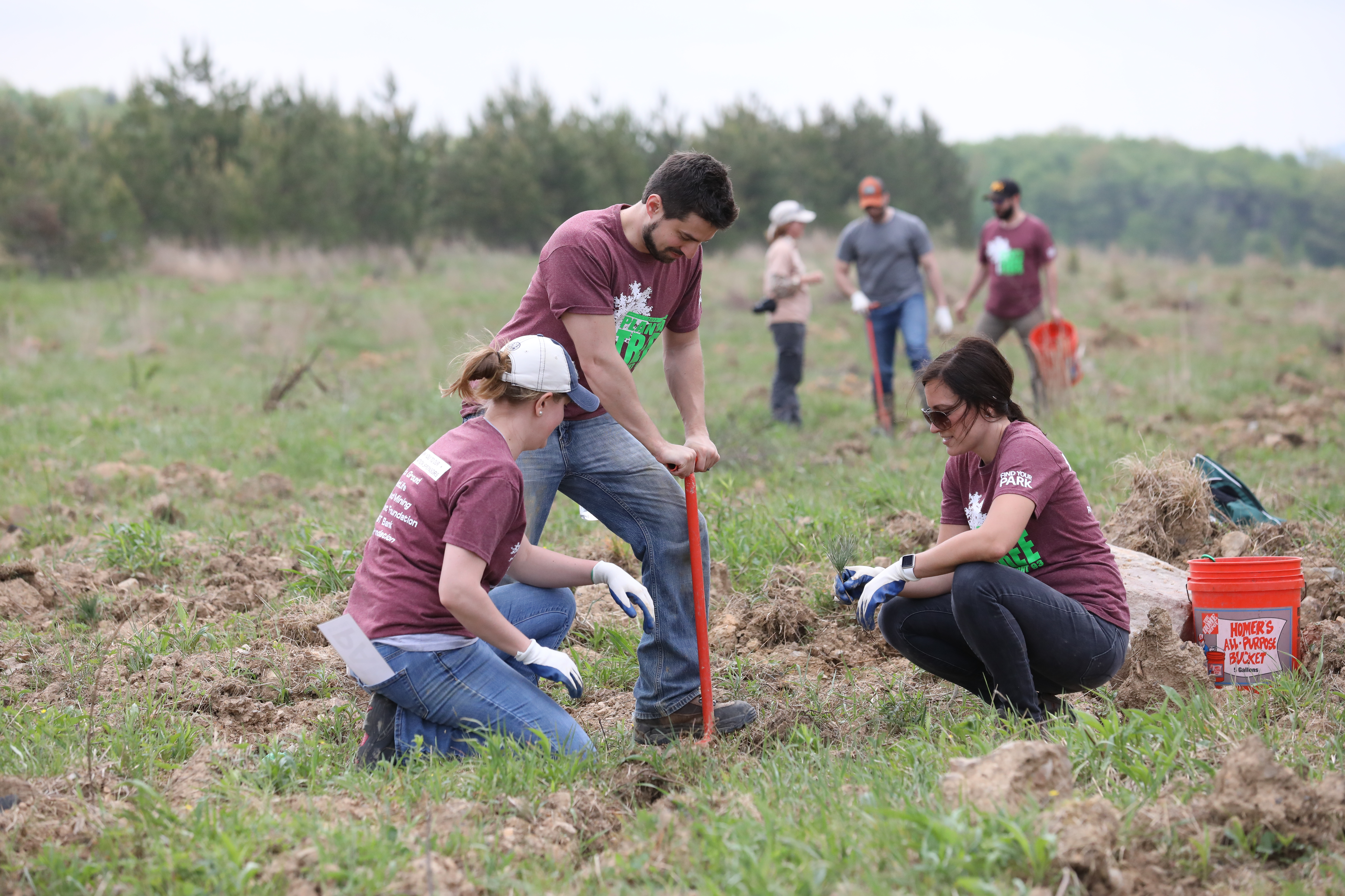 Volunteers using a dibble bar to plant bare root seedling trees