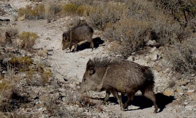 Two javelina on the trail