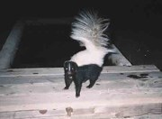 Hooded skunk captured by a remote camera