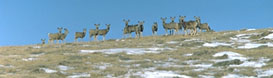 These mule deer were seen on Cundick Ridge in early spring.