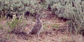 During the spring and summer months, young sage grouse like this one are often seen with their mothers along Chicken Creek Road.