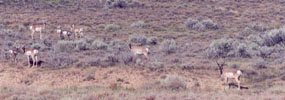 Pronghorn antelope are commonly seen in the sagebrush filled valleys of the Chicken Creek drainage.