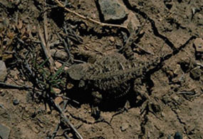 Short-horned lizards are well camouflaged.
