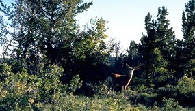Mixed timber provides habitat for a variety of wildlife including mule deer.