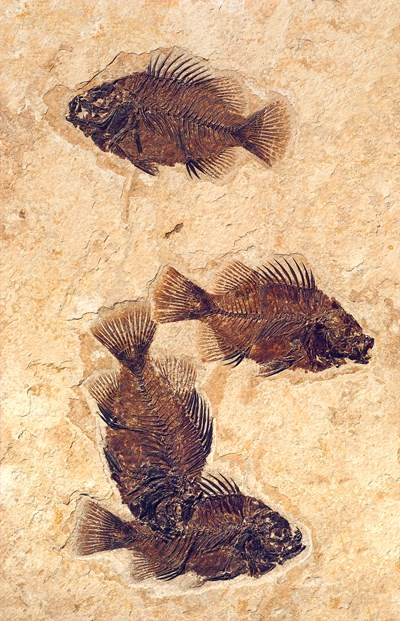 4 fossil fish in mass mortality plate