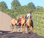 Camel Corps at Fort Davis!