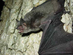 Femal Gray-Bat