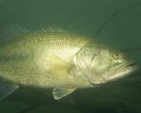Fish  Wildlife on Largemouth Bass 1  Us Fish And Wildlife Service Jpg