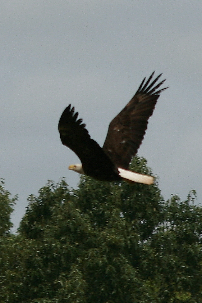 Eagle flying to nest june2011
