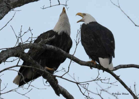 Adult Pair of Nesting Eagles