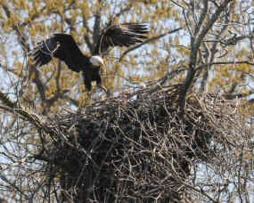 Adult eagle with eaglet