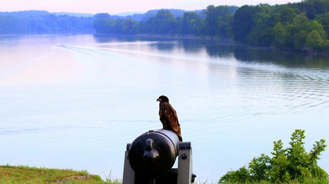 Bald Eagle perched on a cannon at the River Batteries overlooking the Cumberland River.