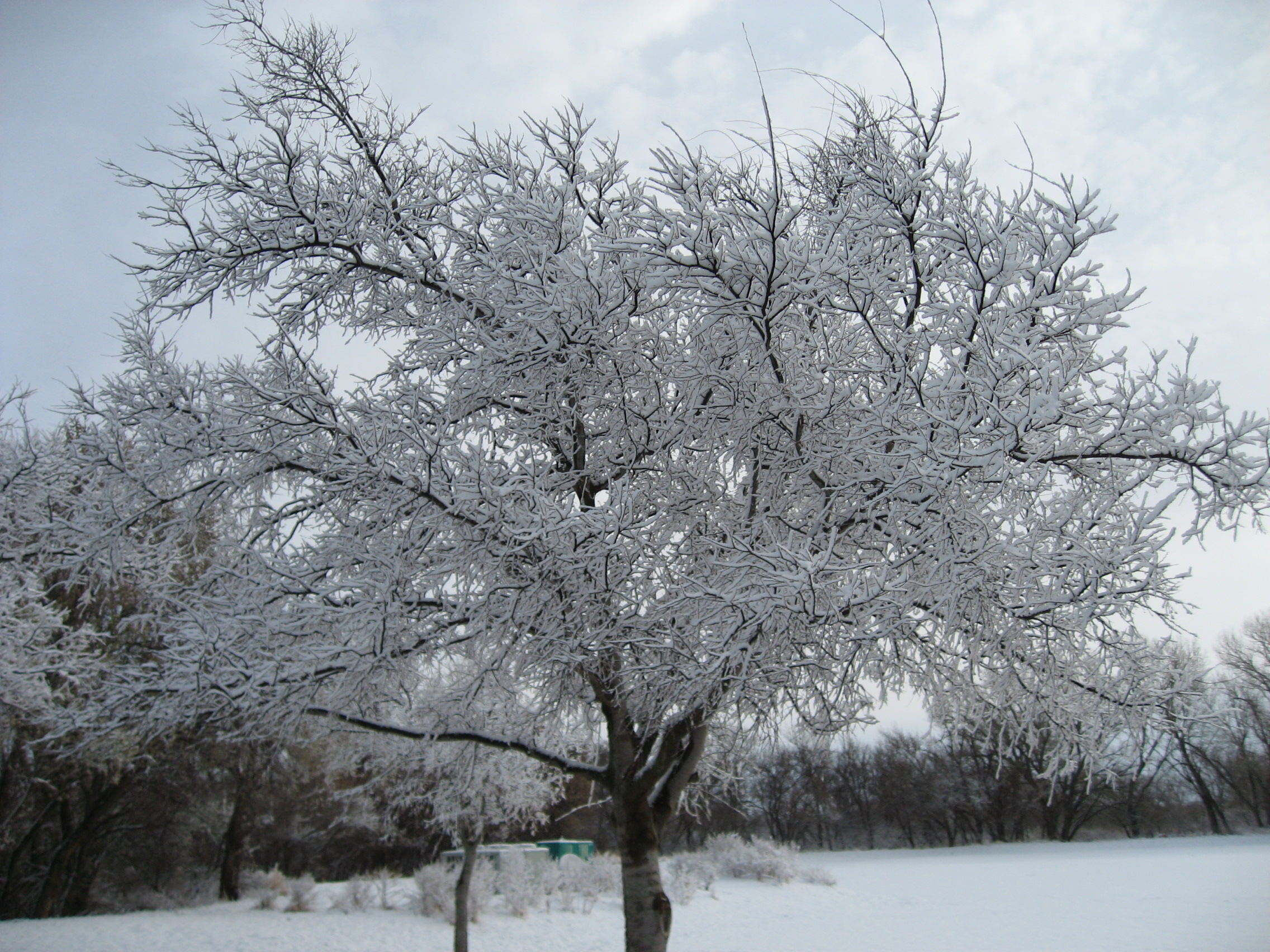 Snow-covered tree.