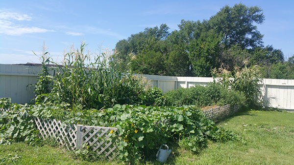 Photo of garden with squash plants growing over the small surrounding fence.