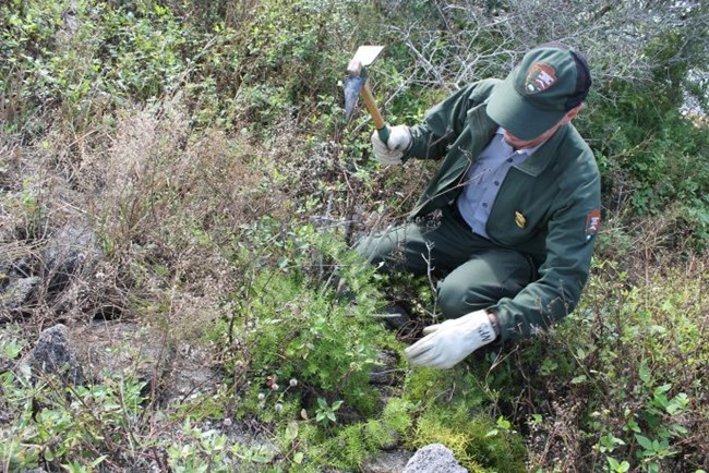 A park ranger removes asparagus fern plant using a pick.